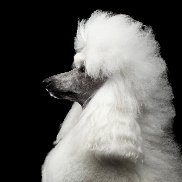 poodle with hairstyle